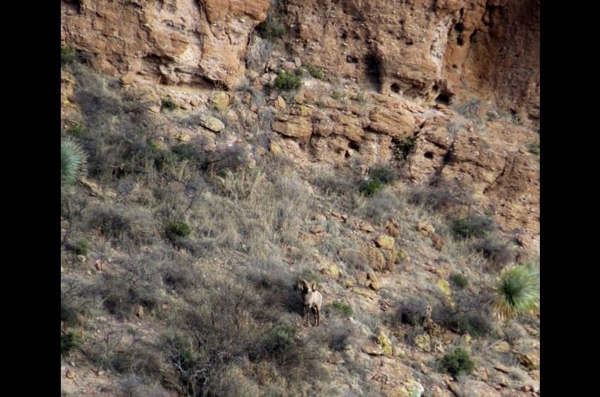 This Rocky Mountain Bighorn Ram was photographed by a hiker at New Mexico Cabin Rentals in Gila NM