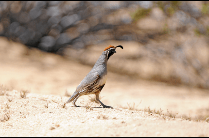 Gambel's Quail at New Mexico Cabin Rentals