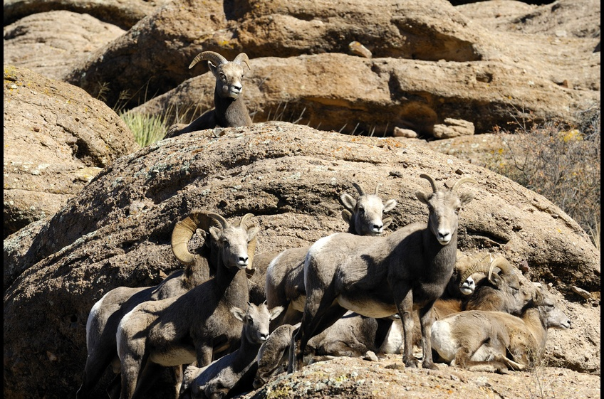 Don't be surprised that Rocky Mountain Bighorn sheep appear.  They enjoy the privacy and solitude of Bear Creek Canyon Retreat as much as you will!