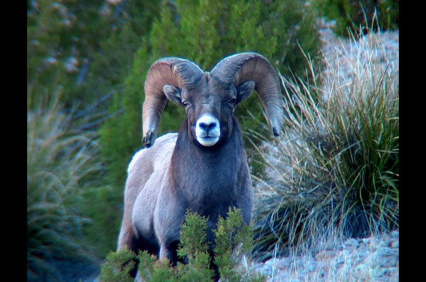 New Mexico Cabin Rentals is home to Bighorn Ram and other wildlife
