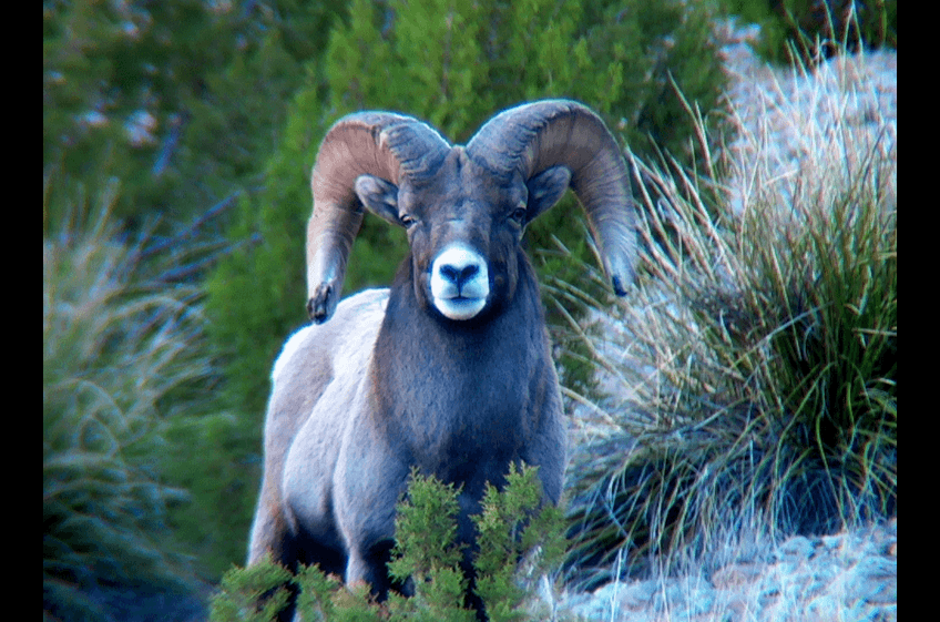 Bighorn Ram Grazing along Bear Creek Canyon at New Mexico Cabin Rentals and Double E Ranch