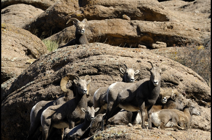 Bighorn Sheep relax along the cliffs at New Mexico Cabin Rentals