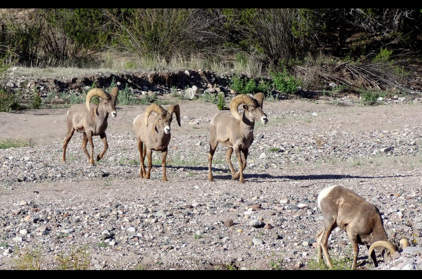 Not unusual to see Bighorn Sheep grazing along Bear Creek at New Mexico Cabin Rentals